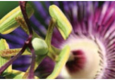 PASSION FLOWER COSMELENES