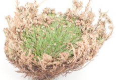 Fermented ROSE of JERICHO