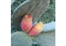 Figue Barbarie - Barbary fig - Prickly pear