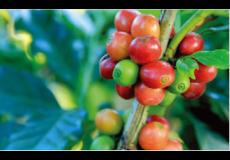 LIPACTIVE GREEN COFFEE