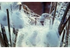 Silk Extract